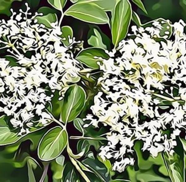 Elder Blossom